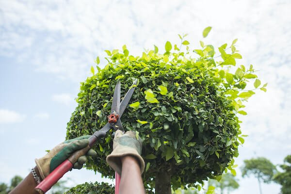 pruning services by tree menders